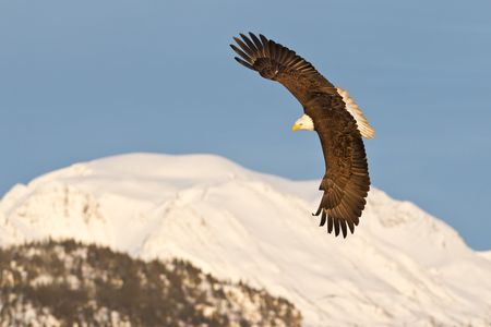 Bald eagle banking with with mountain bkgd-E07G2711-Kachemak Bay, Homer, AK.jpg