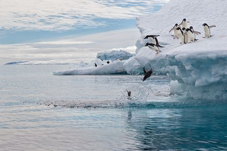 Adelie-Penguins-jumping-off-iceberg-into-the-water_E7T4941-Brown-Bluff-Antarctica.jpg