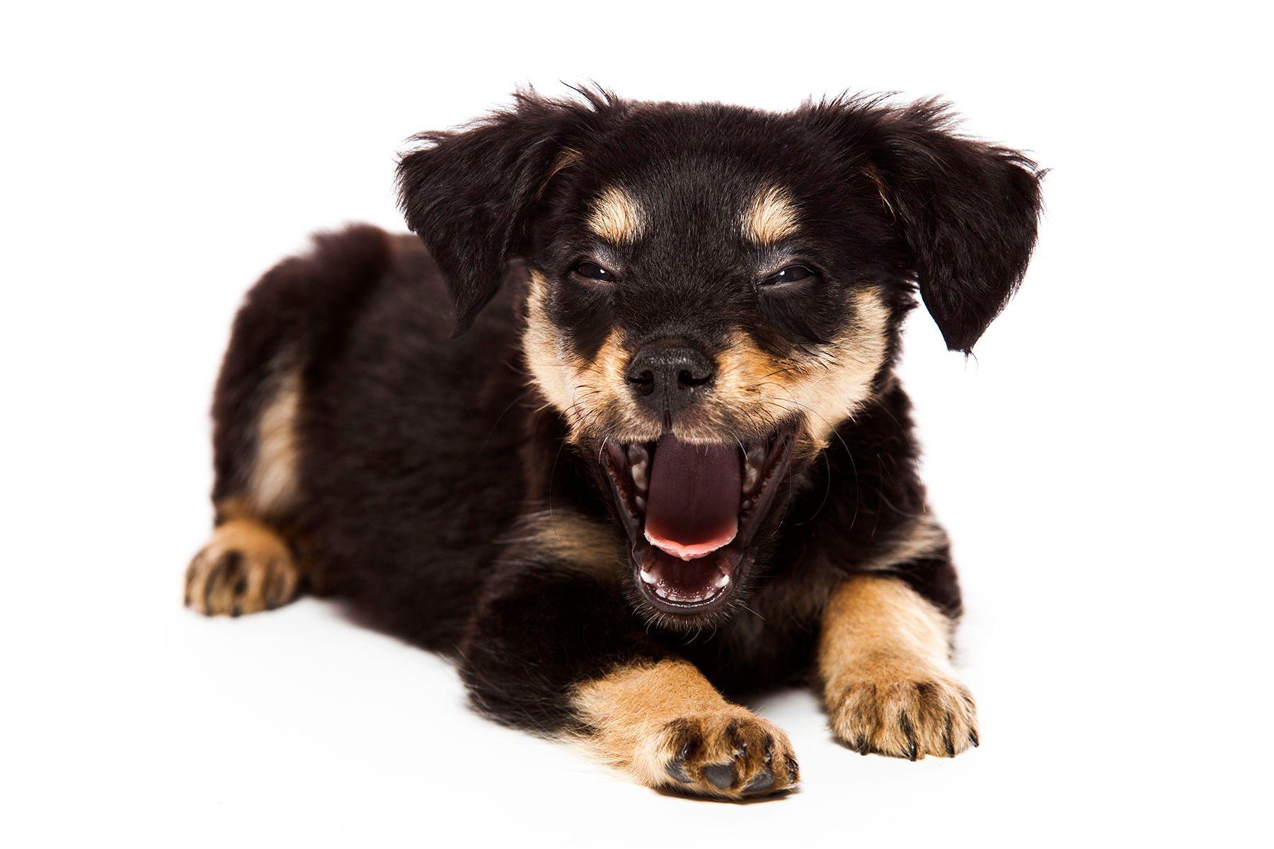 1tinkdog_yawning.jpg