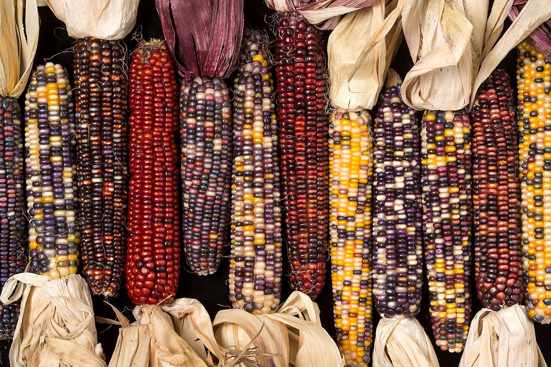 Harvest_Corn.jpg