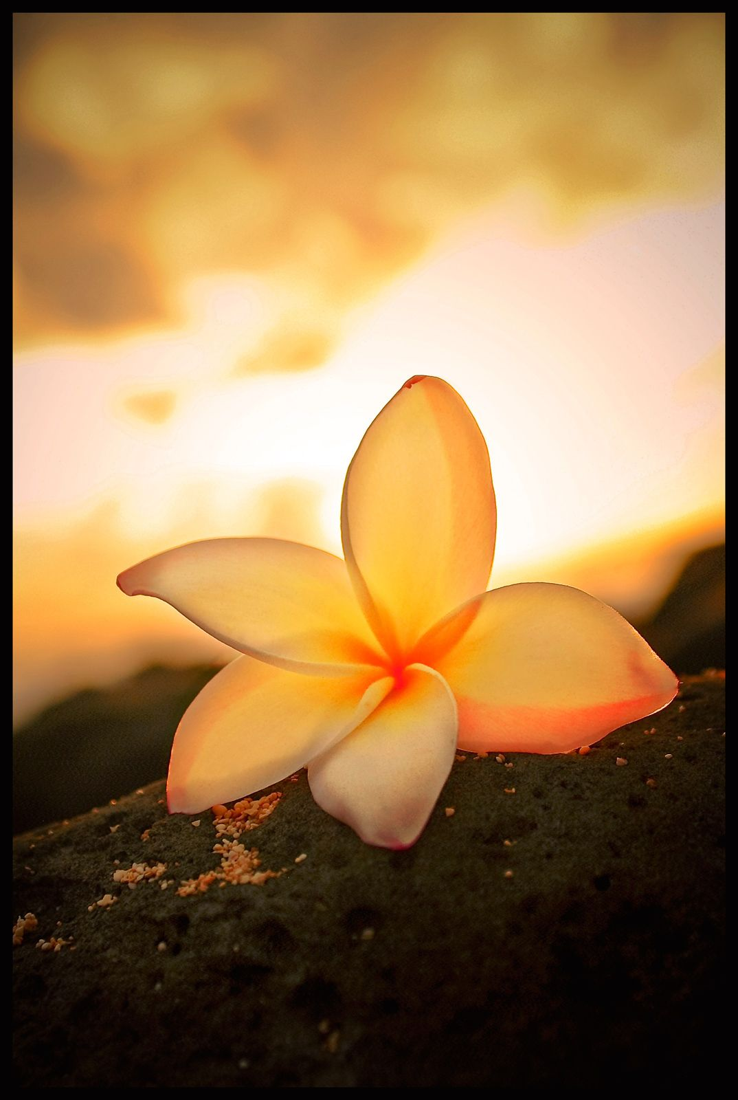 Hawaiian Plumeria, v.2