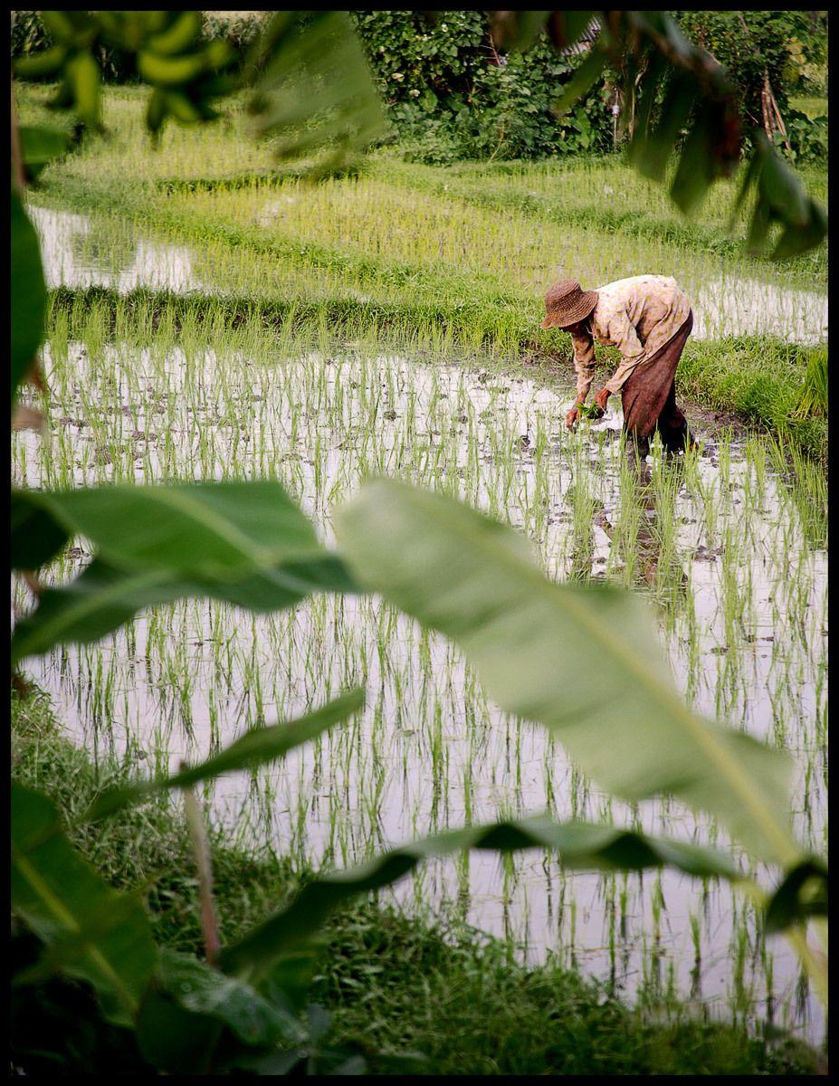 Rice farmer, Bali