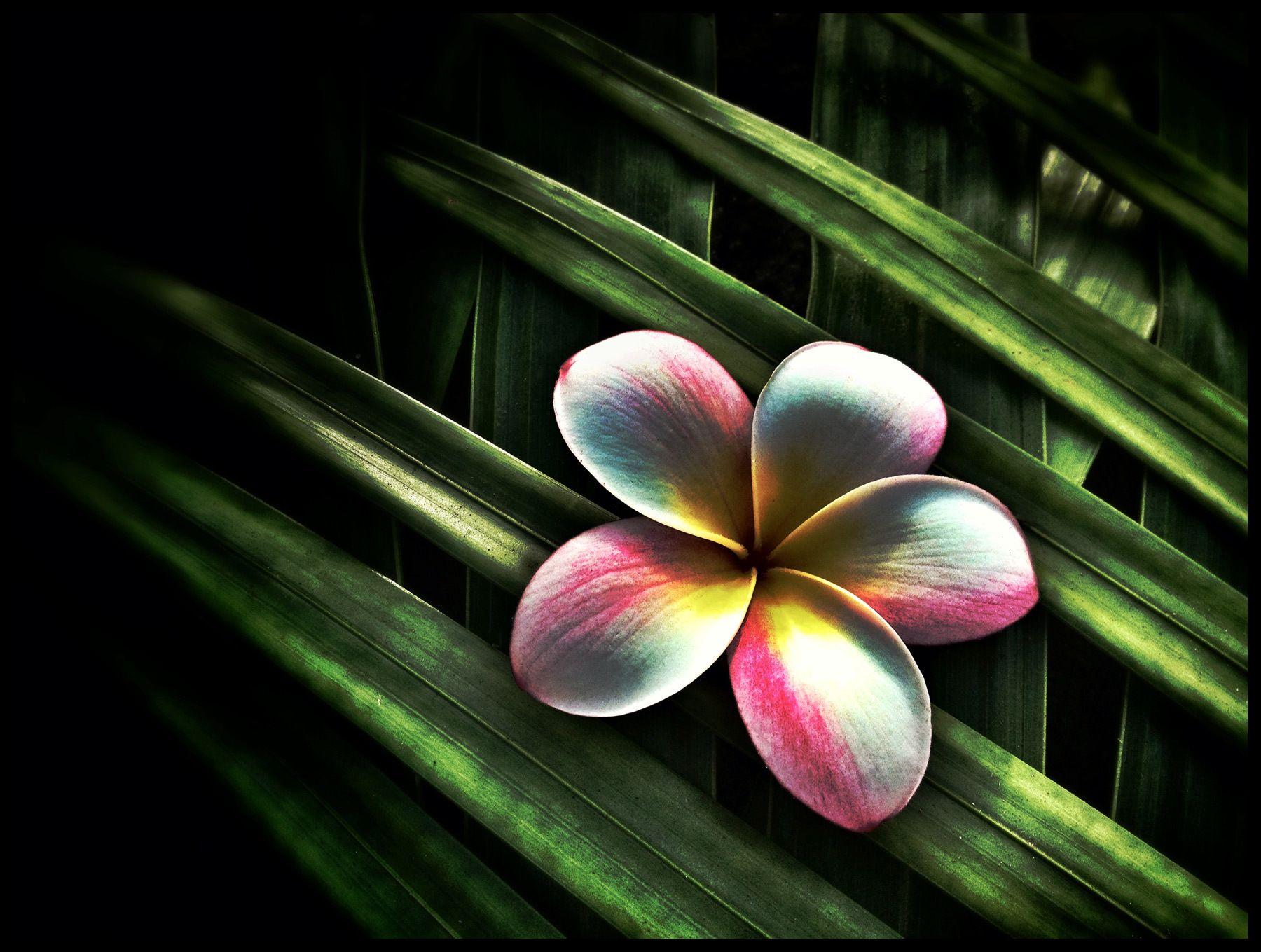 Plumeria, Hawaii