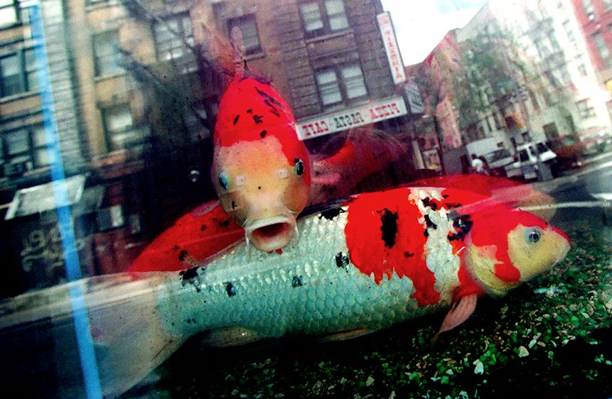 Koi Fish, Chinatown NYC
