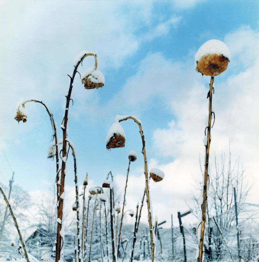 Snow capped sunflowers