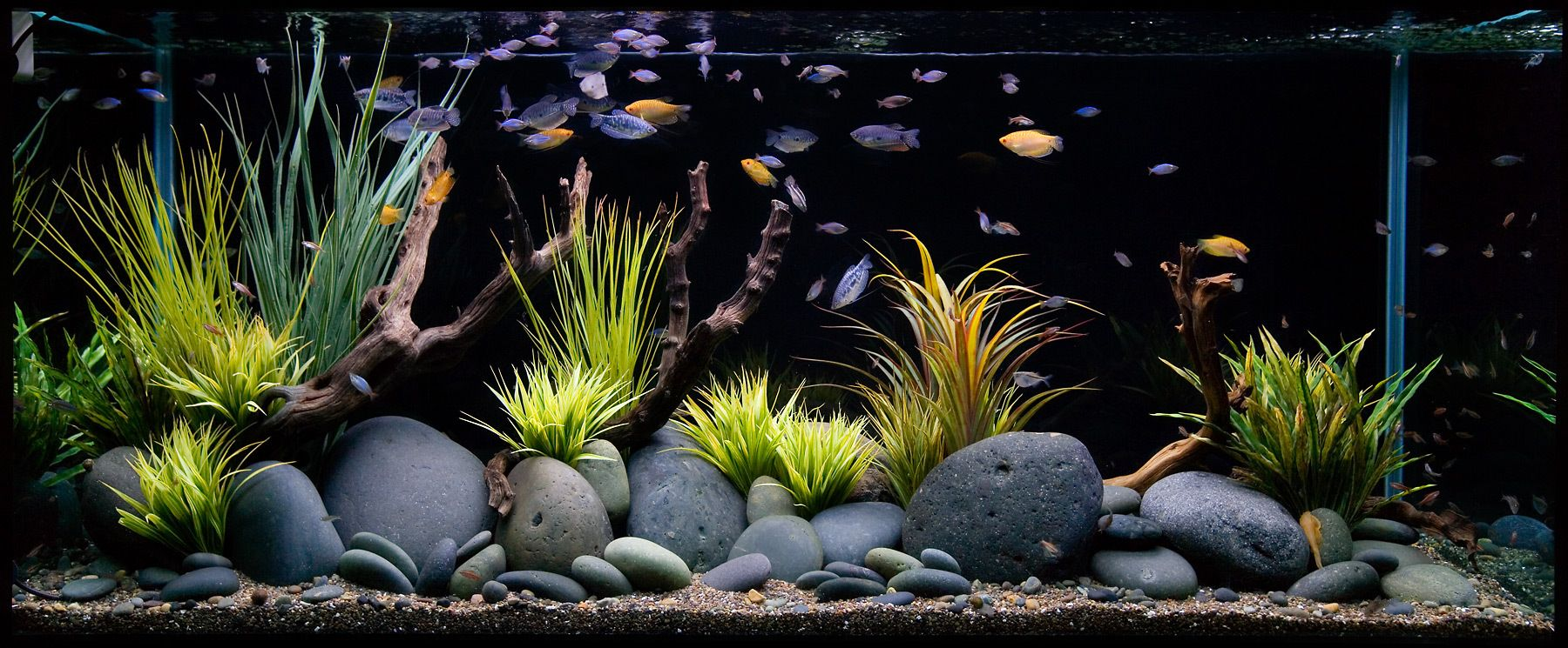 An Aquascaped Aquarium featuring Gourami