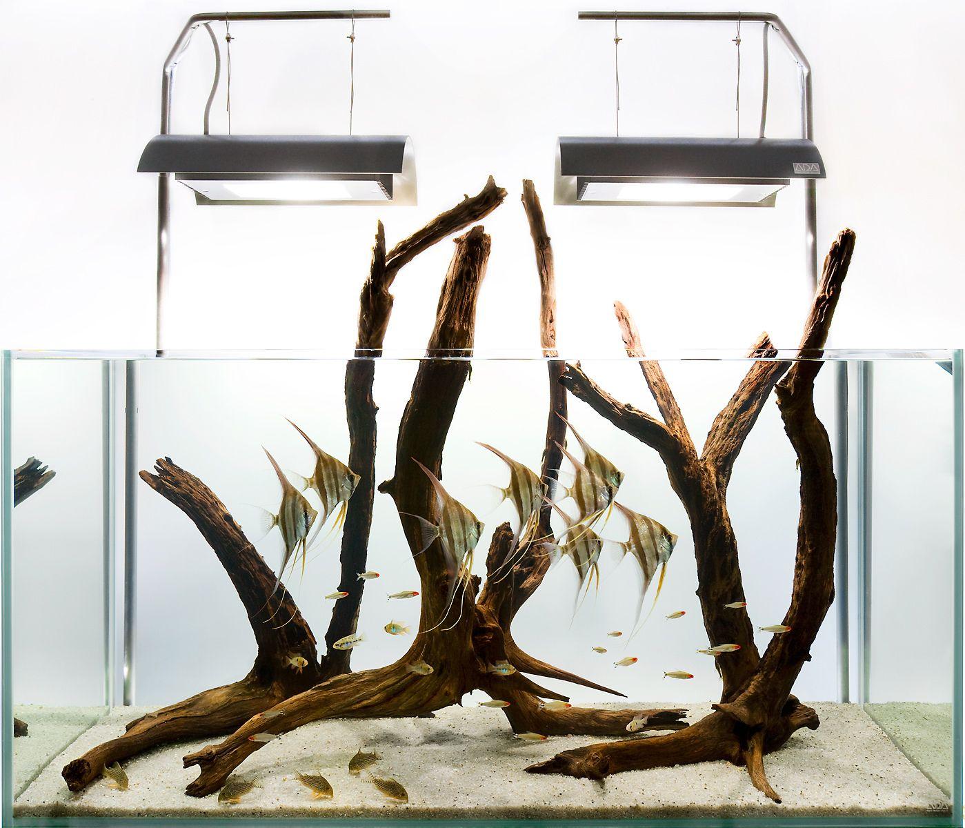 An Altum angelfish hardscape