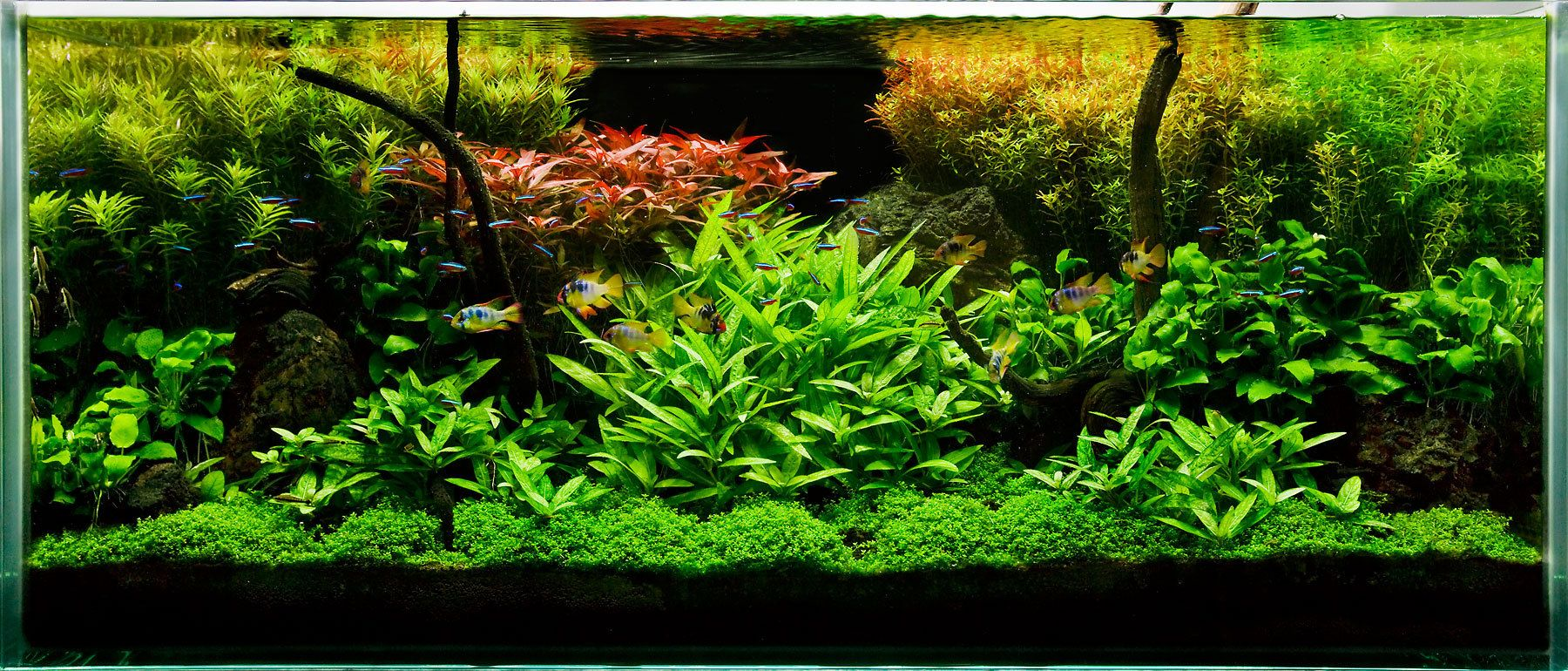 A Planted Aquarium for Wild Rams