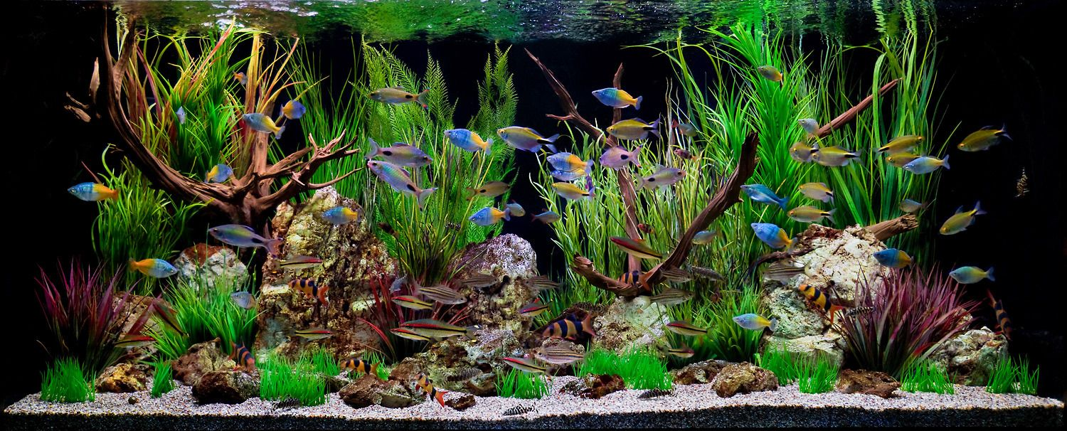 A Freshwater Aquarium Scene of Wonderful Color