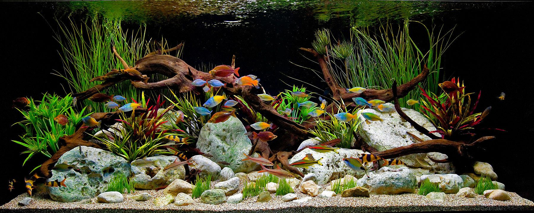 A Classic Decorative Freshwater Aquascape witrh Driftwood and Stones