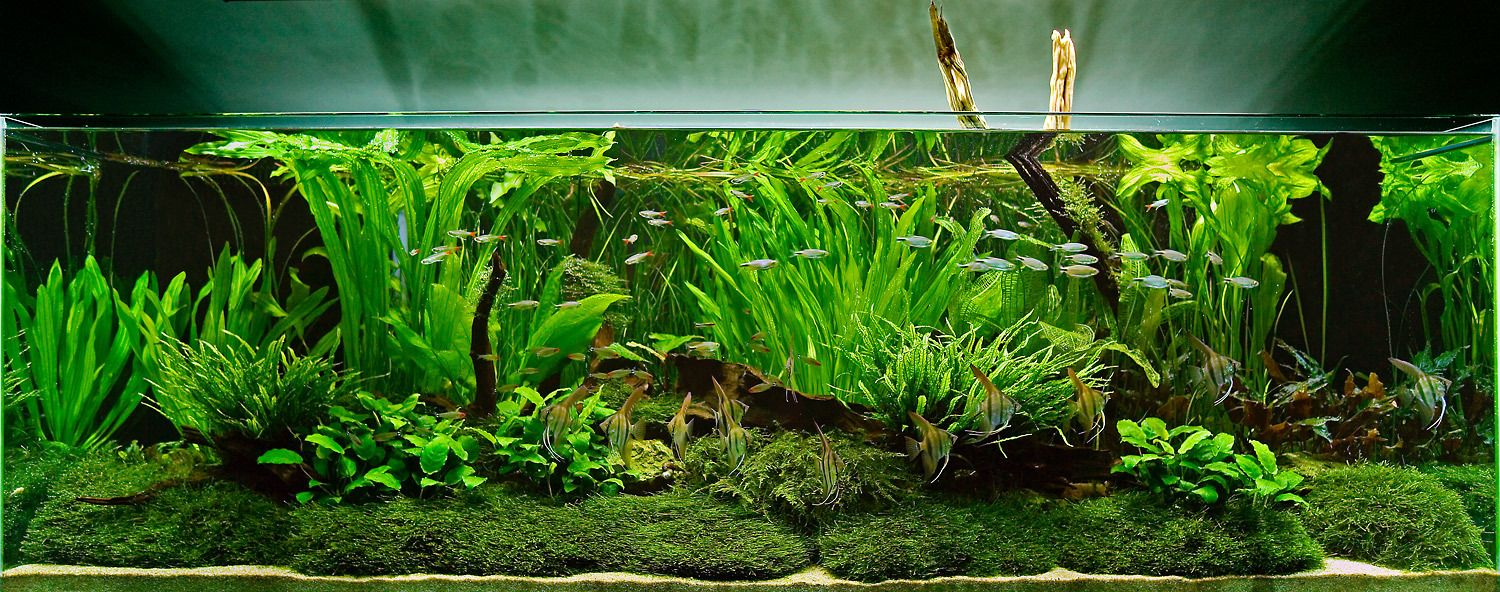 An Aquascape with Tall Aquatic Plants and Moss
