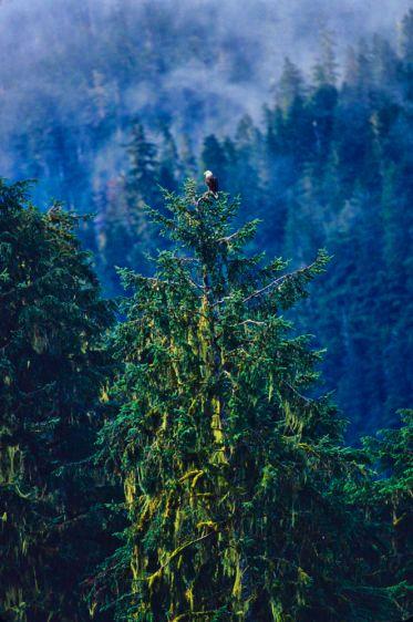 1Bald_eagle_Tongass