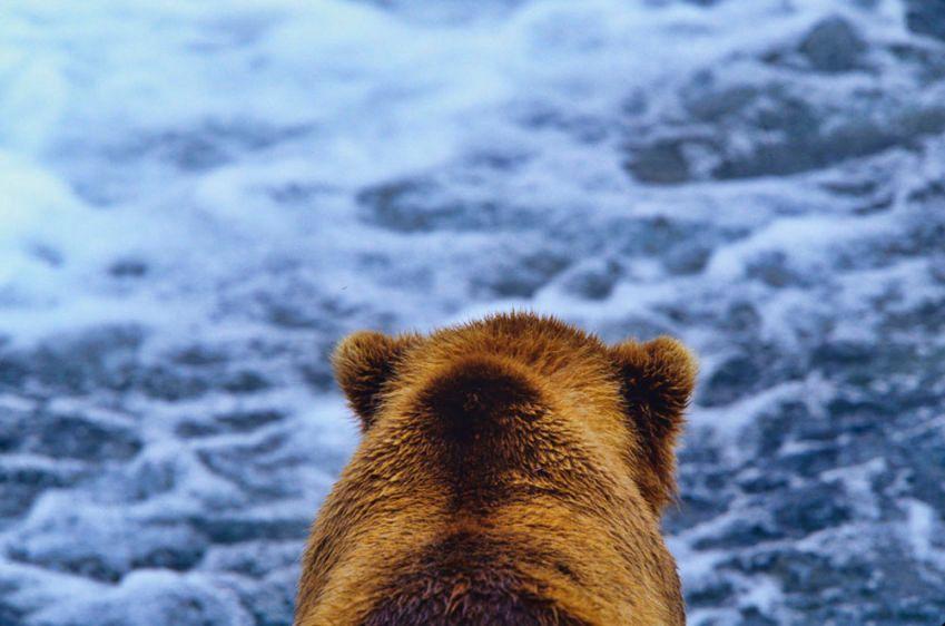 1Griz_looking_at_river
