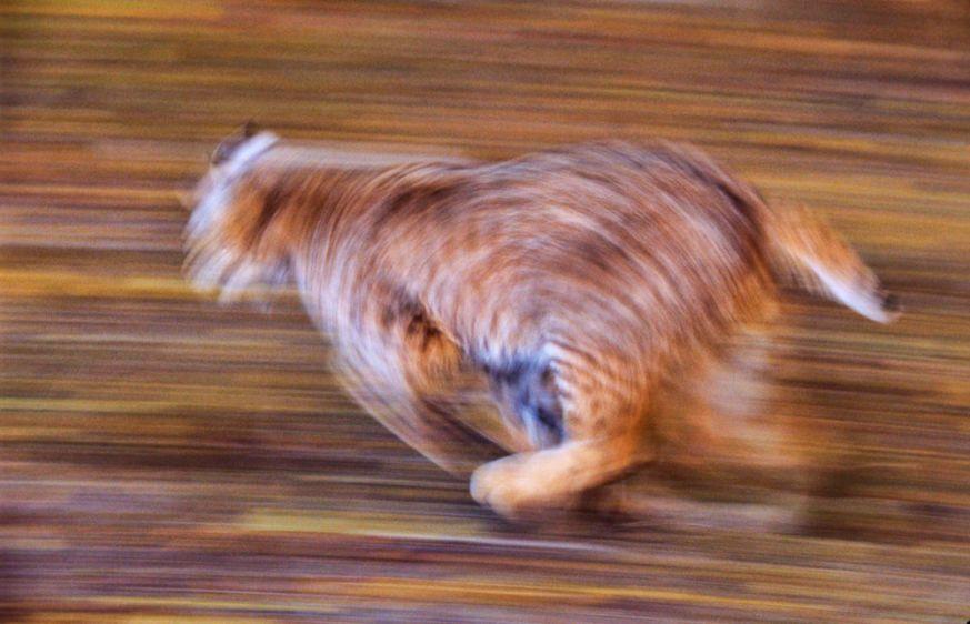 1Bobcat_running