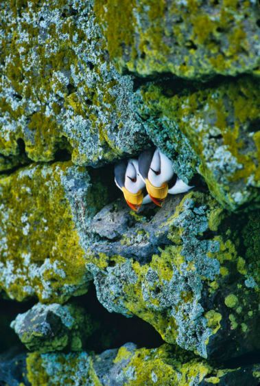 1Horned_puffin_burrow