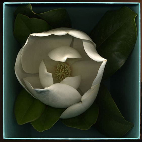 Magnolia in a Tiffany Box