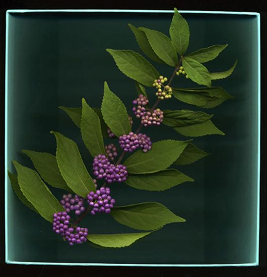 Purple Berries in a Tiffany Box
