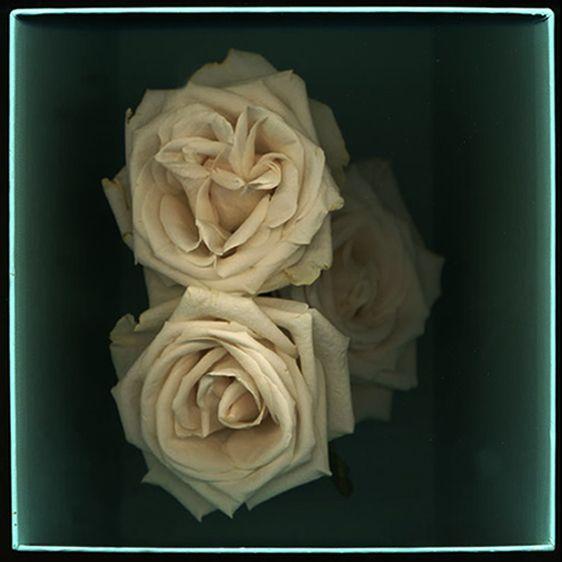 Fading Roses in a Tiffany Box