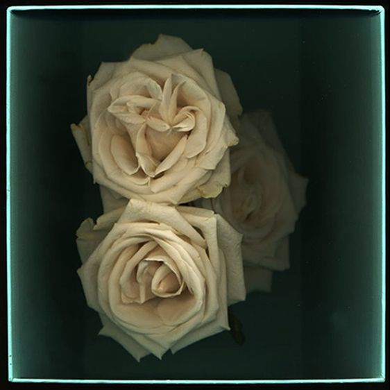 Fading Roses in a Tiffany Box