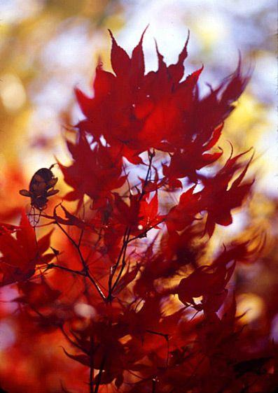1flaming_leaves.jpg