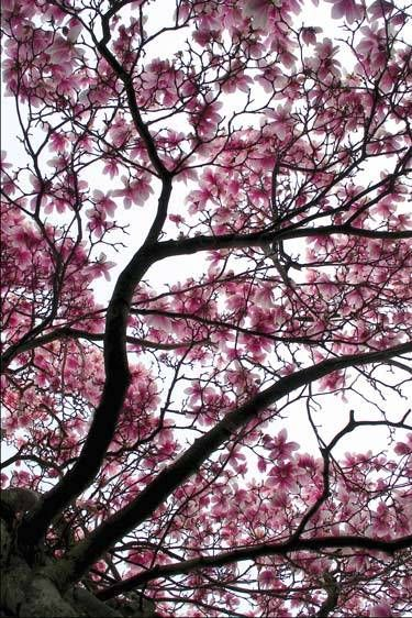 1cherry_blossom.jpg