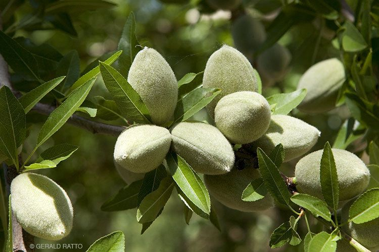 Spring Almonds