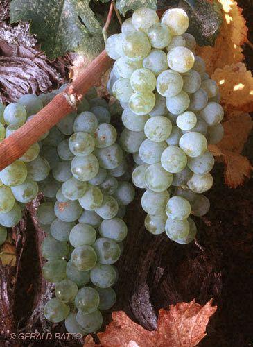 Chardonay Grapes