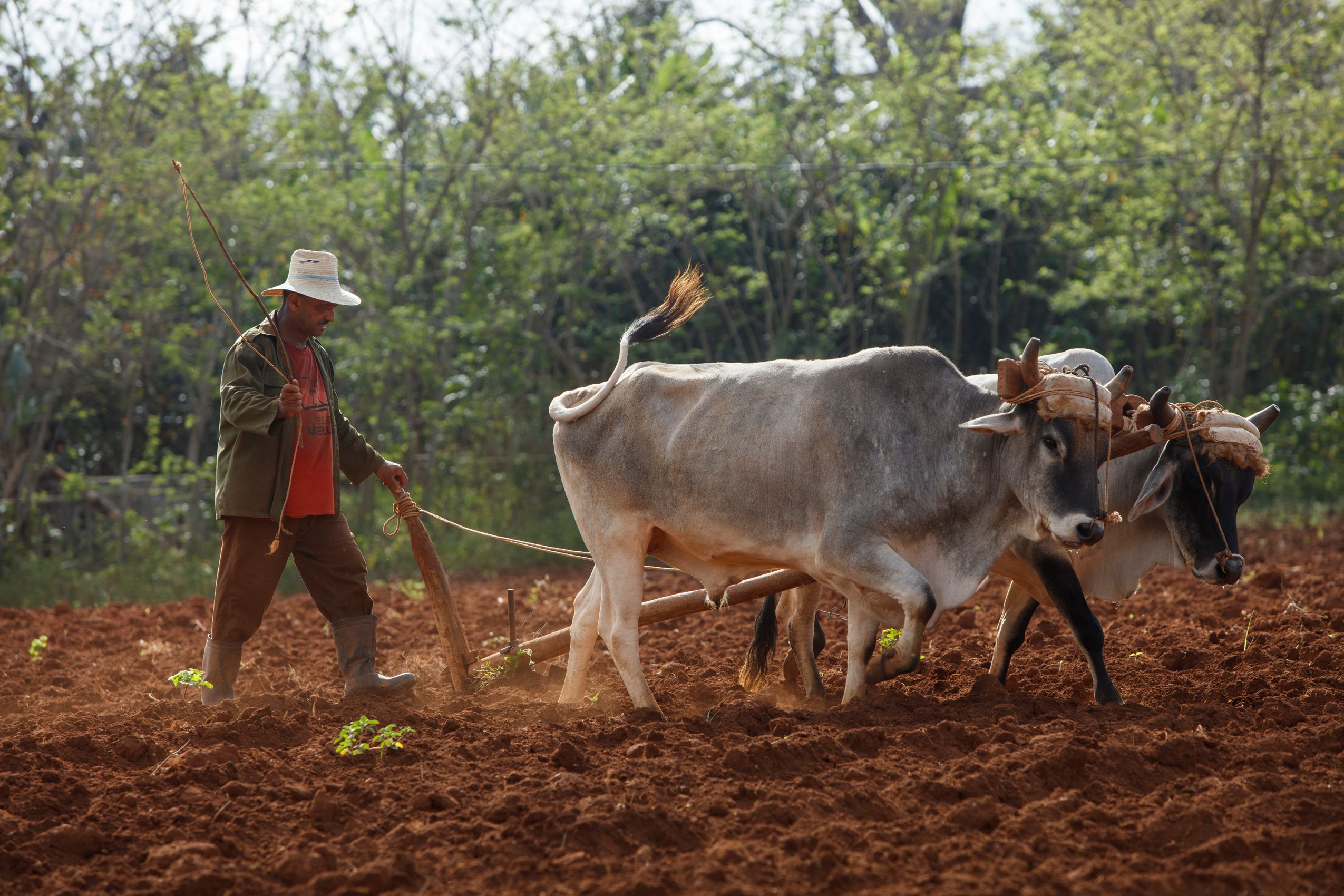 Guajiro plowing tobacco field. Vinales Valley. Cuba.