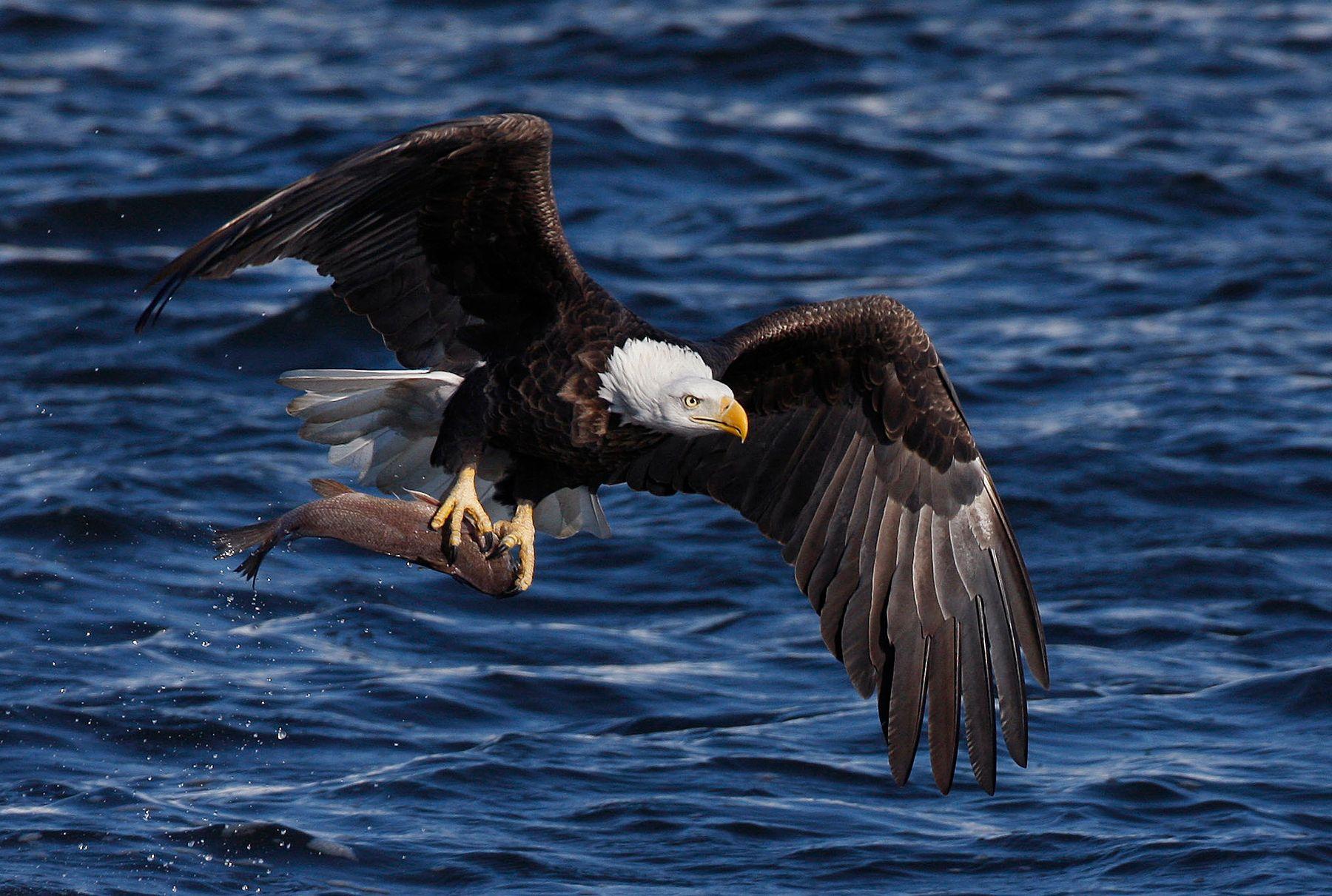 Bald Eagle with perch. Mississippi River. Iowa.