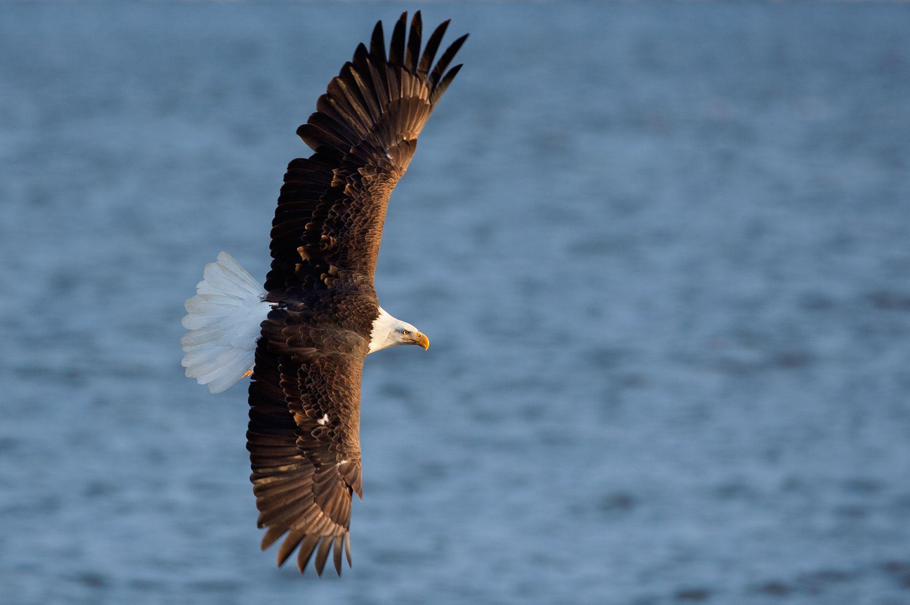 Bald Eagle above Mississippi River. Iowa.