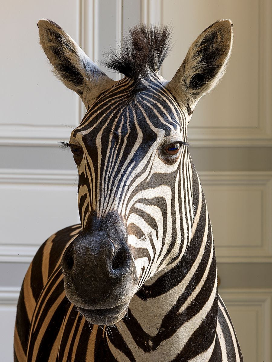 Deyrolle Zebra Head