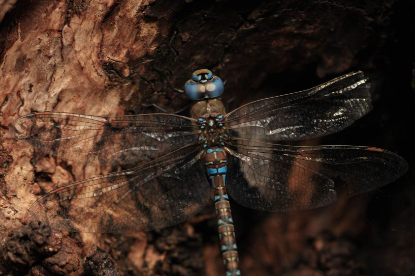1dragonfly_on_tree