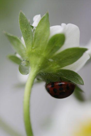 1strawberry_blossom_ladybug_drop_2_sm