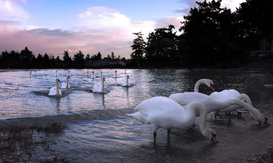 1procession_of_swans