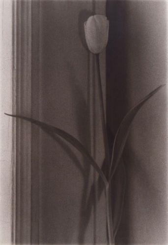 1r1997_tulip