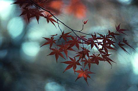 Japanese Maple, Autumn, Northport, New York