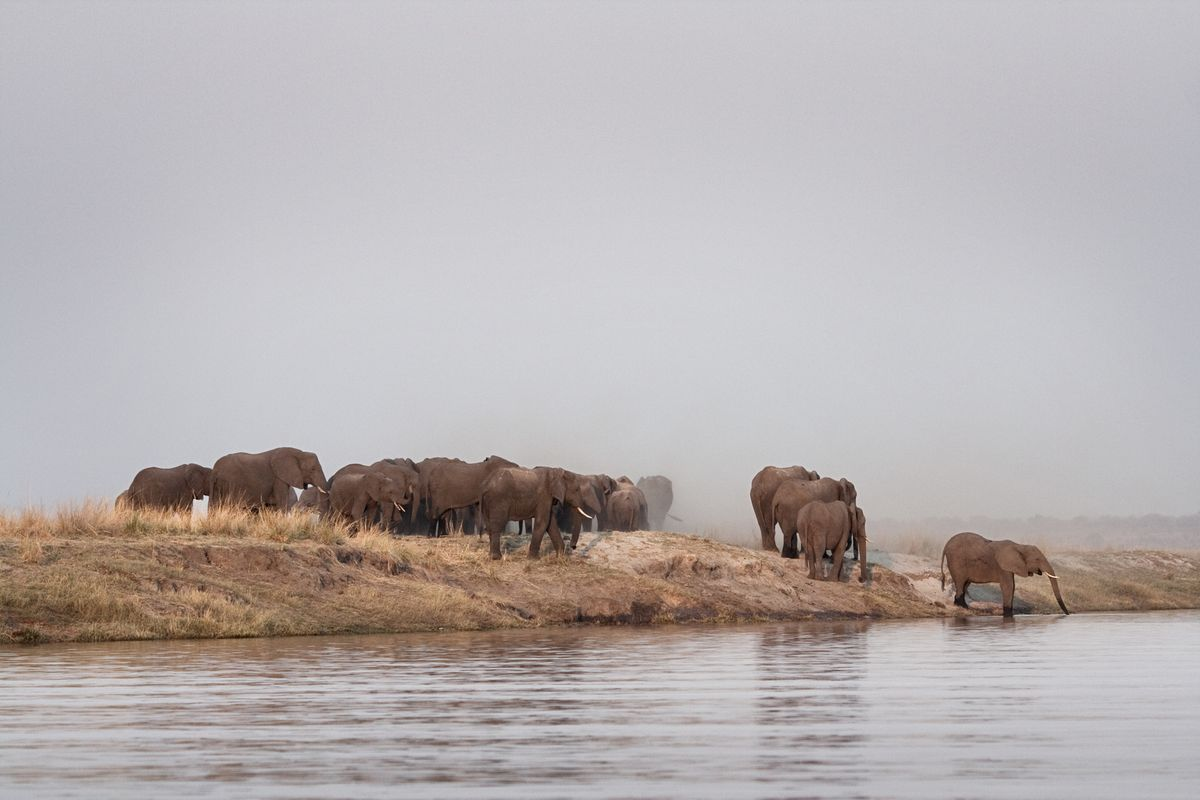 Elephants drinking at the Chobe River, Botswana