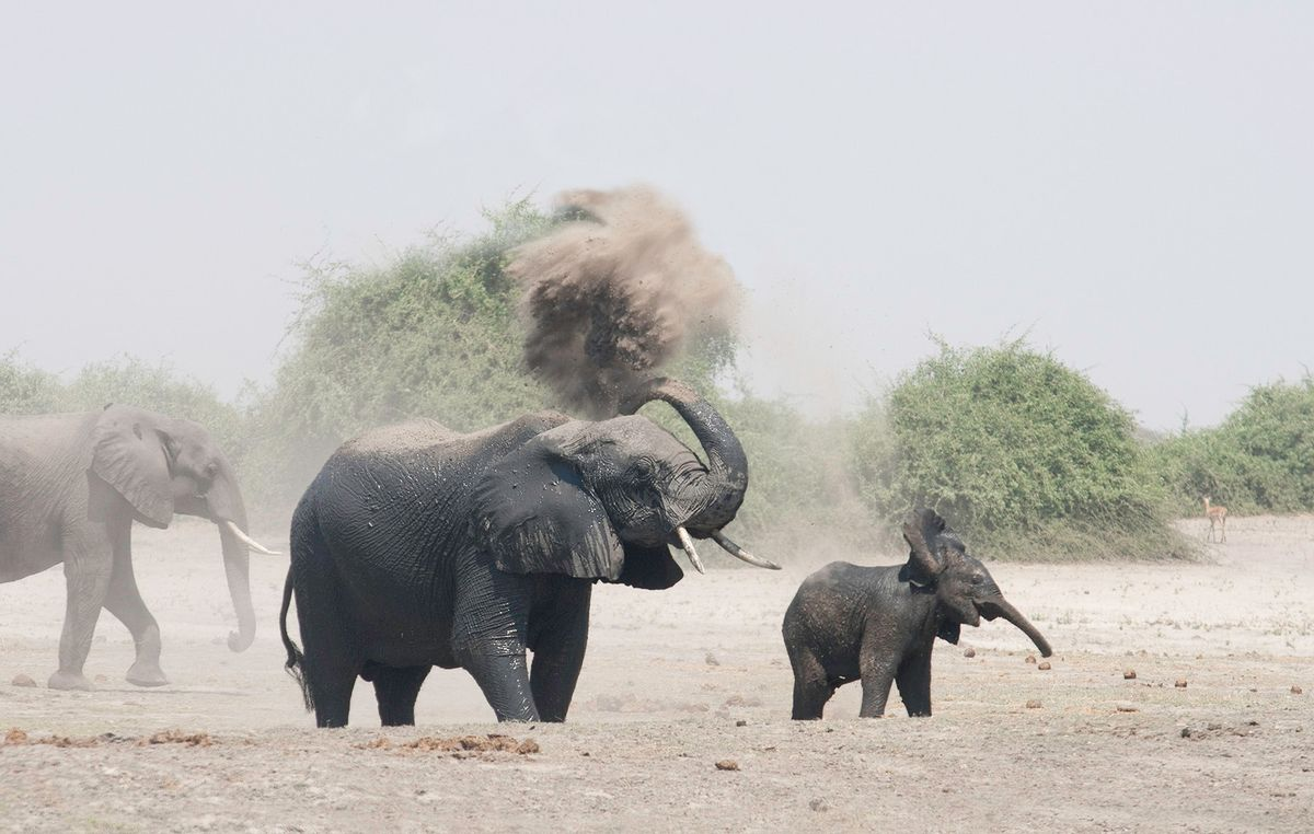 Elephants having a dust bath, Botswana