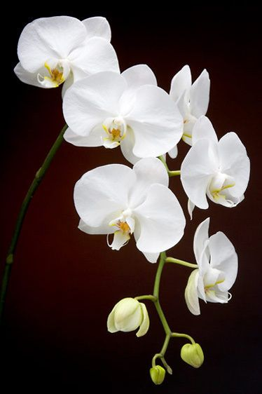 Orchid String