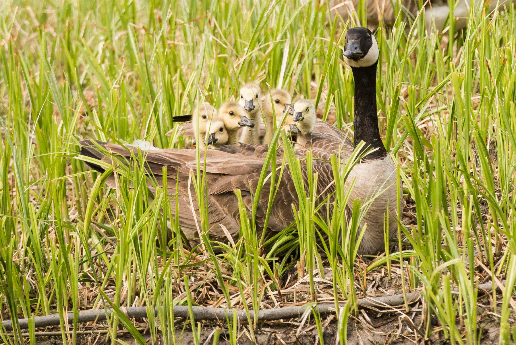 1_dsc8391_cdn_geese_goslings_2.jpg