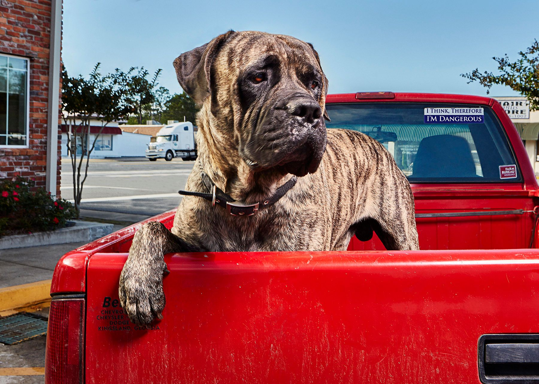 1os_mastiff_dog1015_0012a
