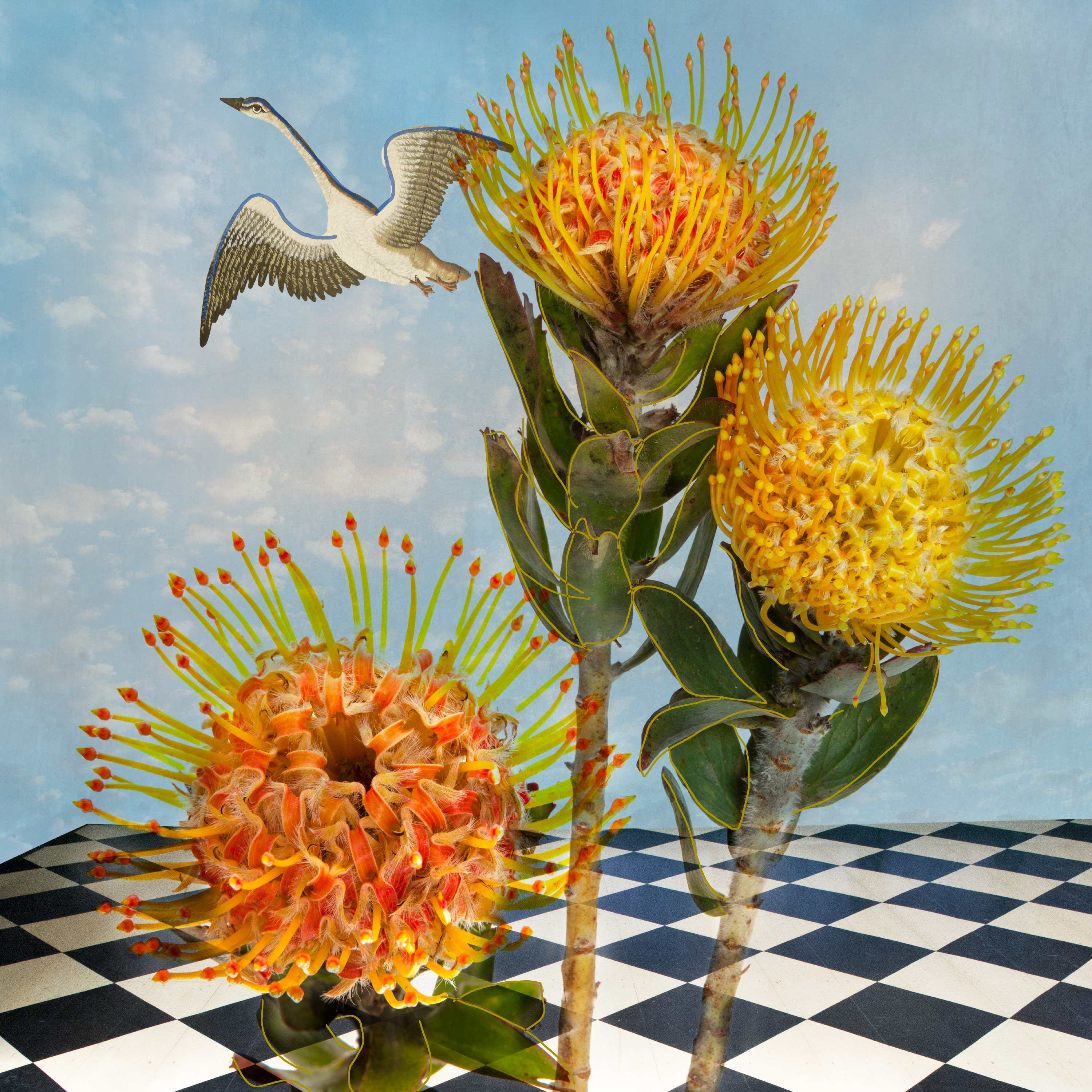 PincushionProtea_website.jpg