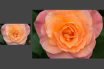 Deep_Focus_Rose_RET_W-3.jpg