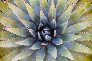 01 Agave Plant