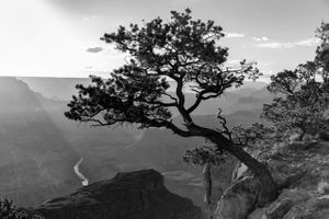 Canyon Tree BW