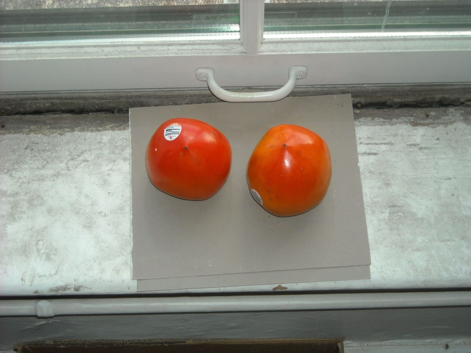 PERSIMMONS  @ my STUDIO WINDOW