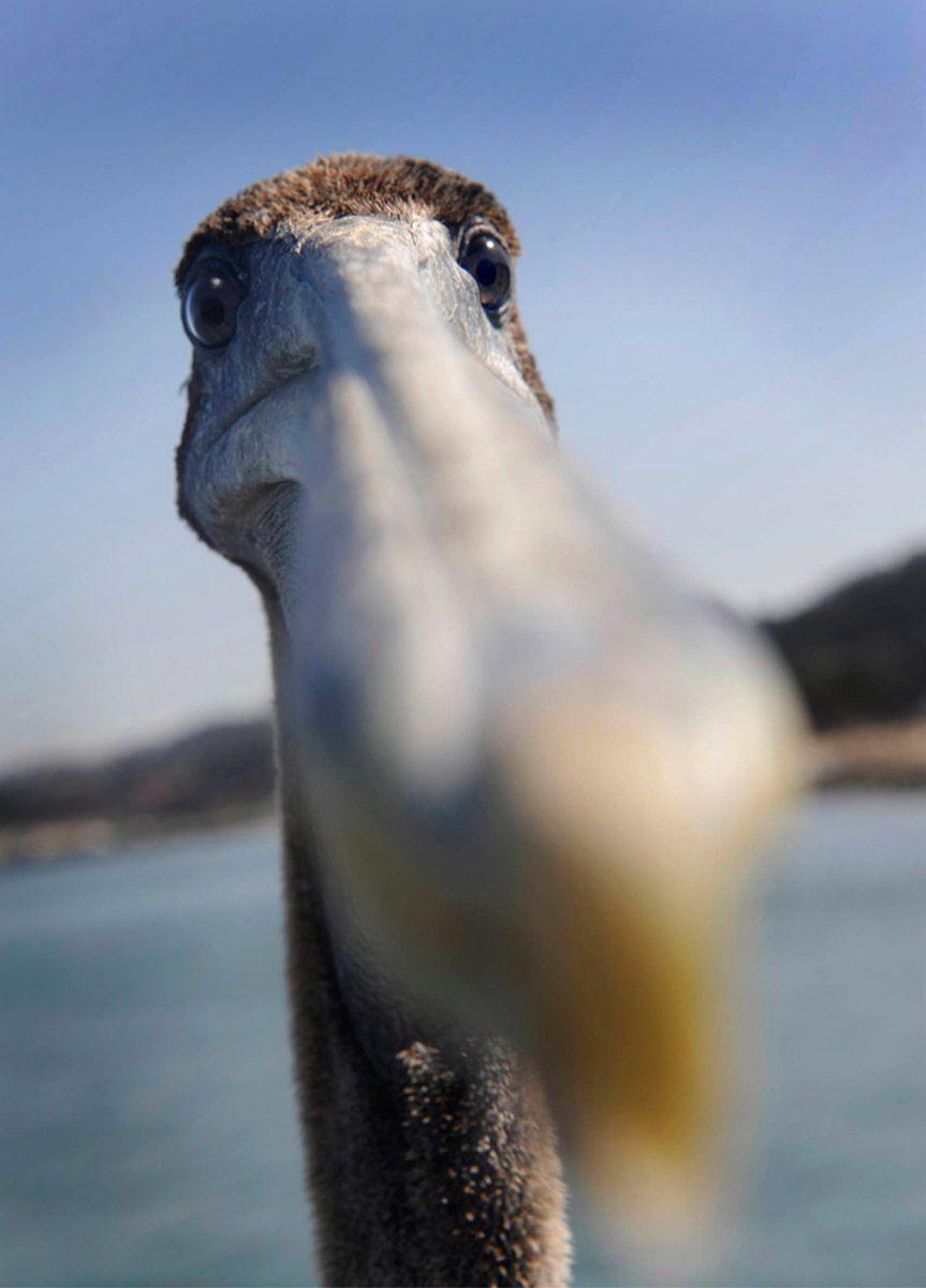 Petulant Pecking Pelican.jpg