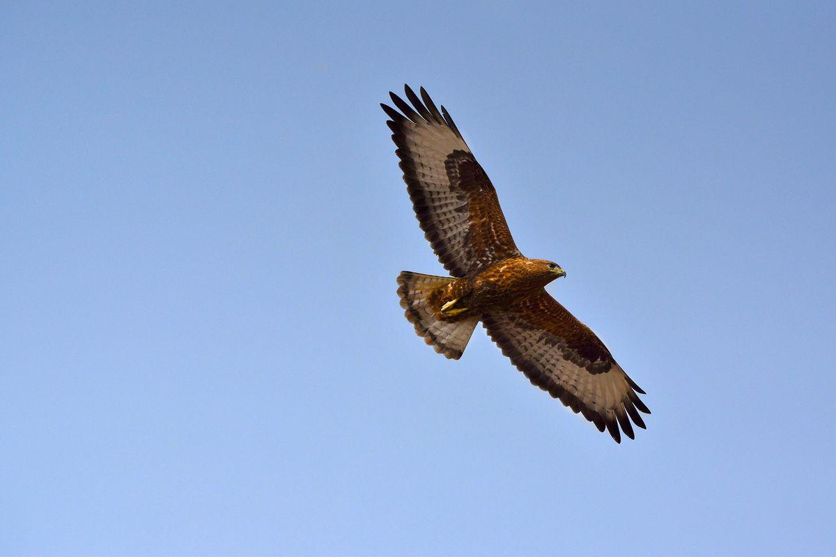 Jaisalmer raptor.jpg