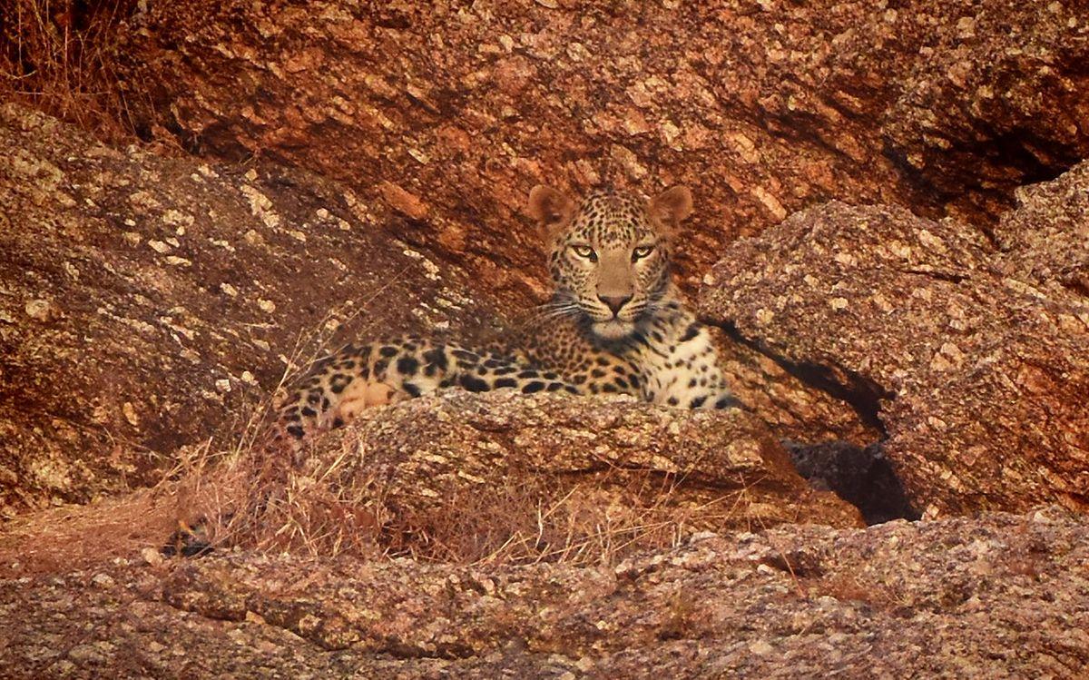 Leopard Narlai 1.jpg