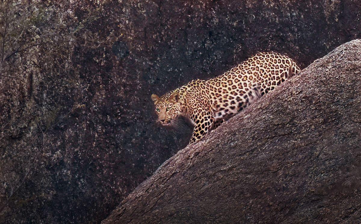 Leopard Bera 1.jpg